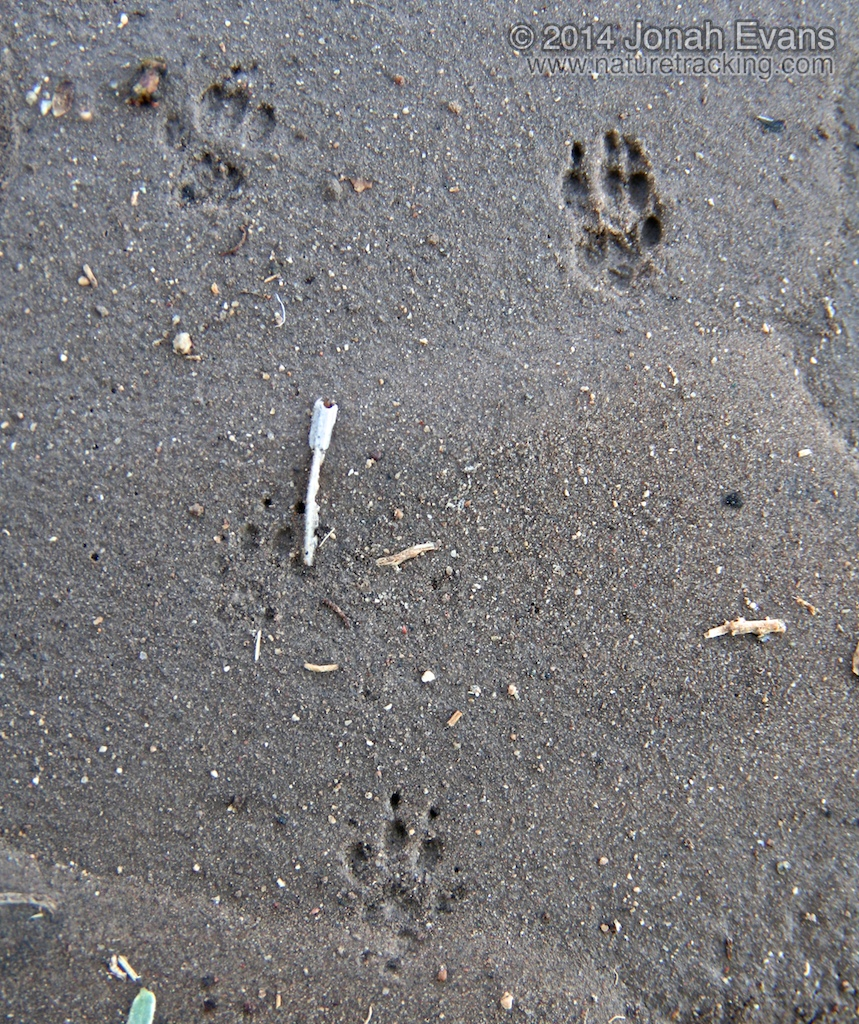 Rio Grande Ground Squirrel Tracks