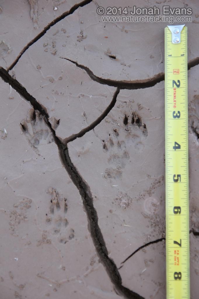 Rock Squirrel Tracks