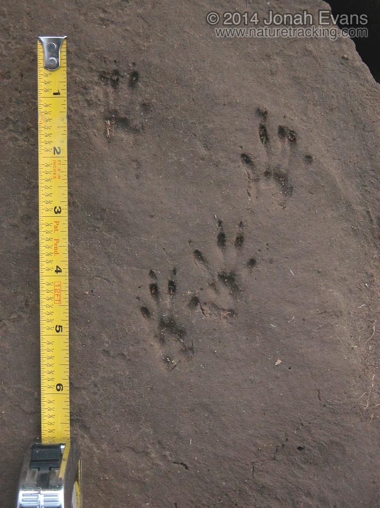 Western Gray Squirrel Tracks