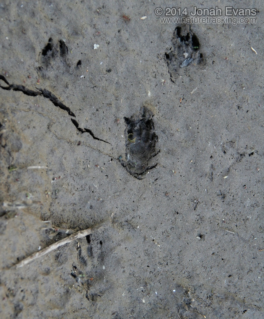 Wyoming Ground Squirrel Tracks