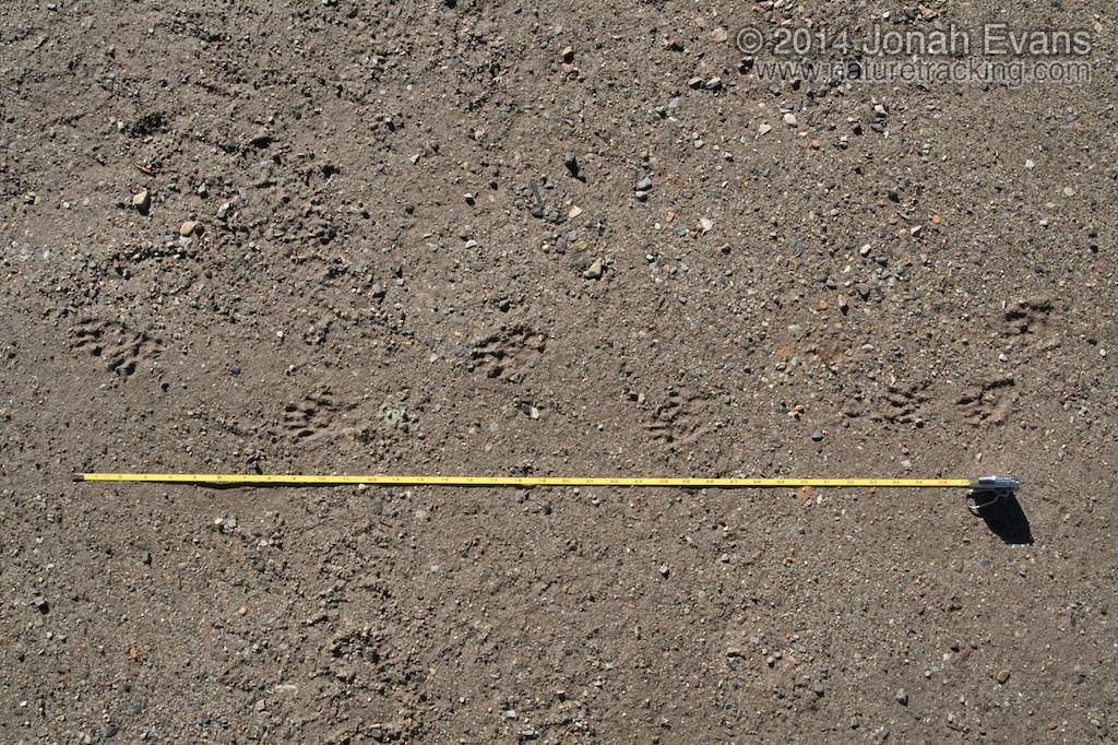 Yellow-bellied Marmot Tracks