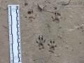 Fox Squirrel Tracks