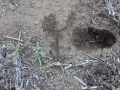 Kangaroo Rat Dig & Scat