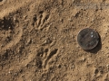 Pocket Gopher Tracks