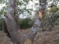 Porcupine Chews on Gum Bumelia