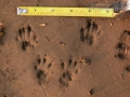 Western Gray Squirrel Tracks