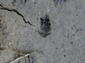 Wyoming Ground Squirrel Tracks