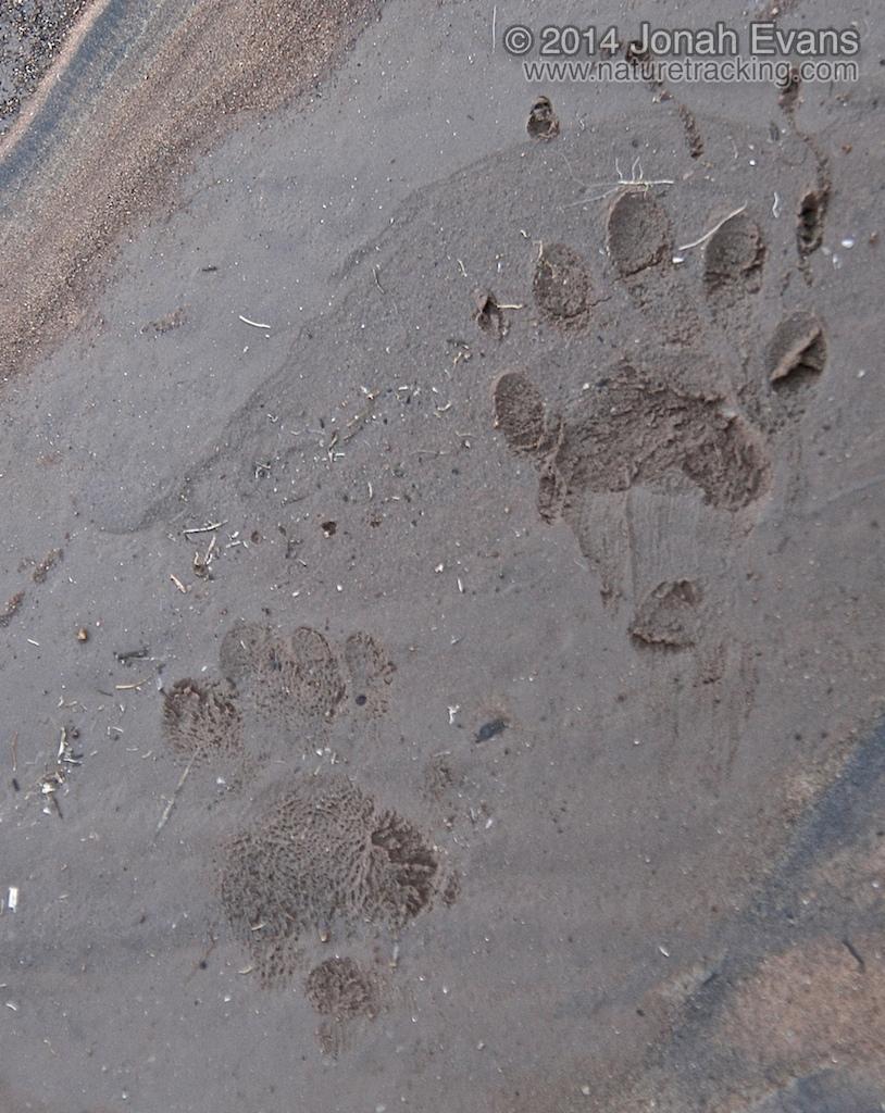 Striped Skunk Tracks