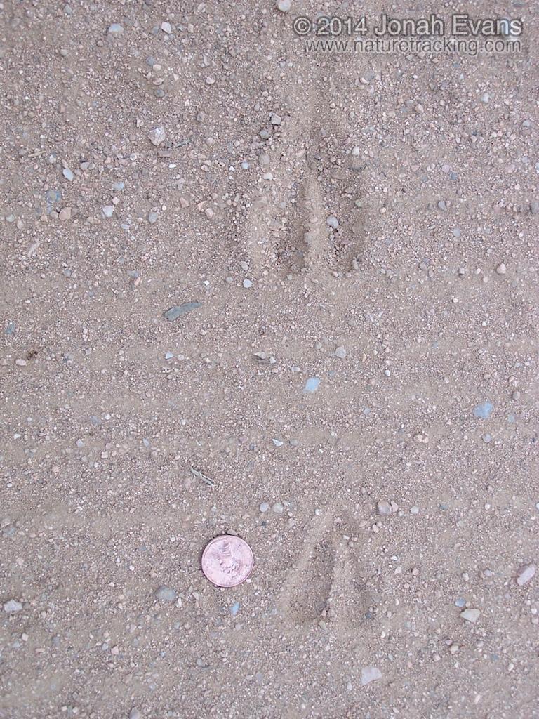 Blackbuck Antelope Tracks
