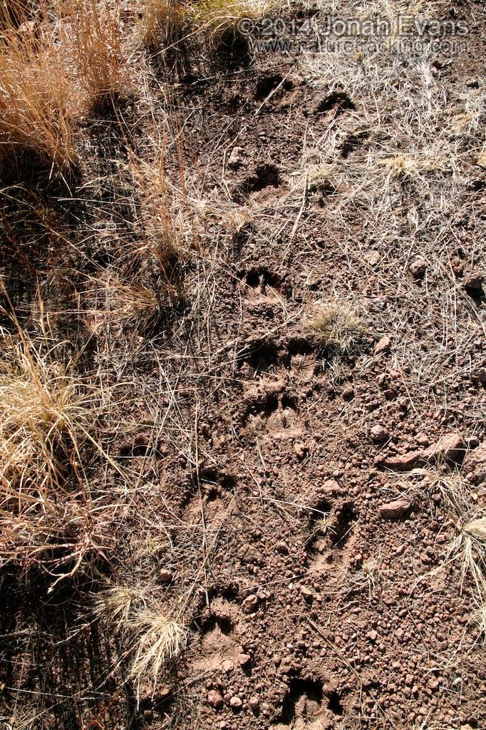 Elk Tracks