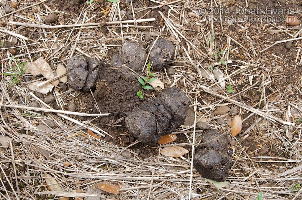 Feral Hog Scat