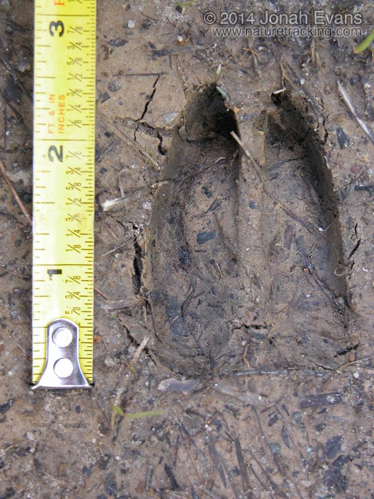 Mule Deer Tracks