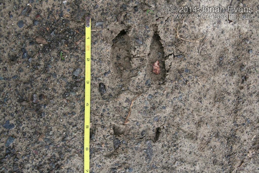Mule Deer Hind Track
