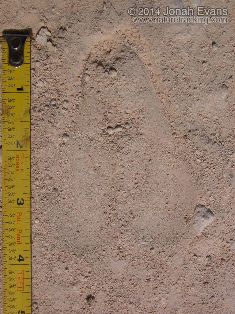 Scemitar Horned Oryx Tracks