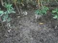Peccary Digging