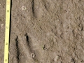 Pronghorn Tracks