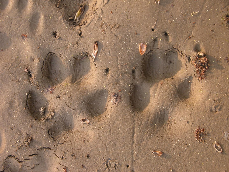 Red fox tracks naturetracking for House of tracks