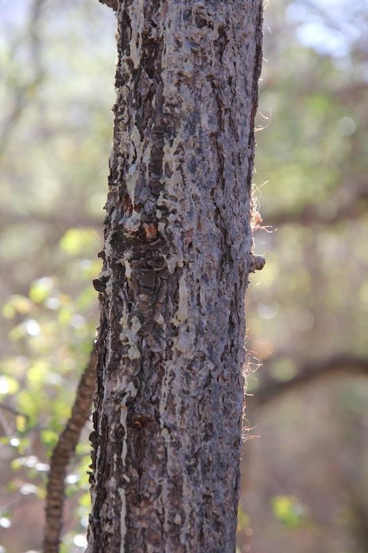 Black Bear Bite Tree