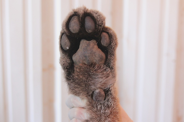The left front foot of a cougar