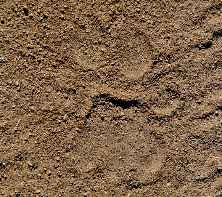 Right Hind Mountain Lion Track