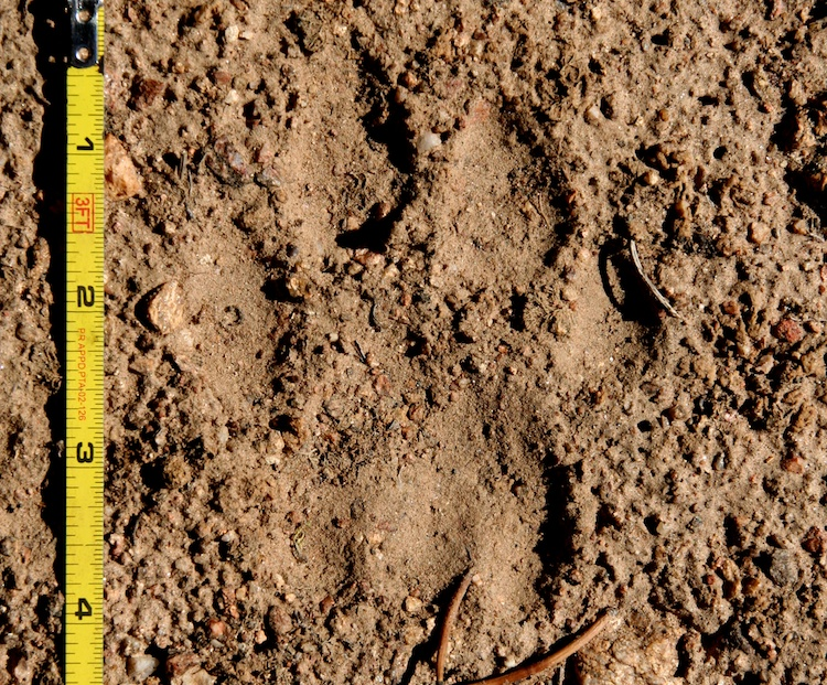Mountain Lion Track (Right Hind)