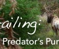 Trailing: The Predator's Pursuit