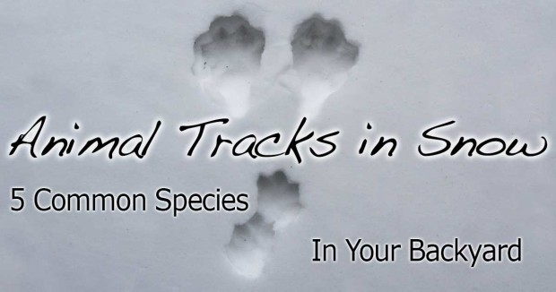 Identifying Animal Tracks in Snow – 5 Common Backyard Species