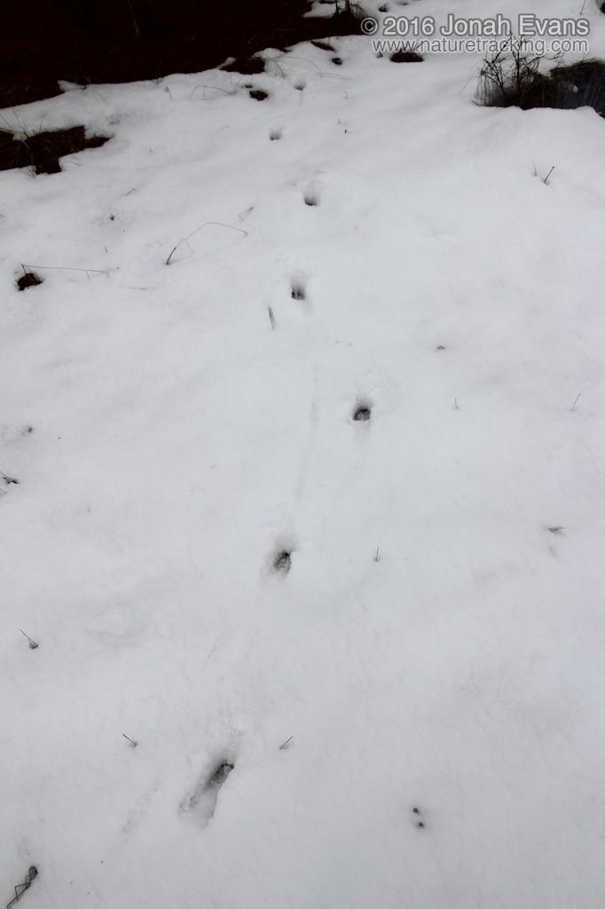 Deer tracks in snow.