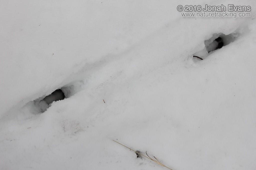 Deer Tracks in Deep Snow