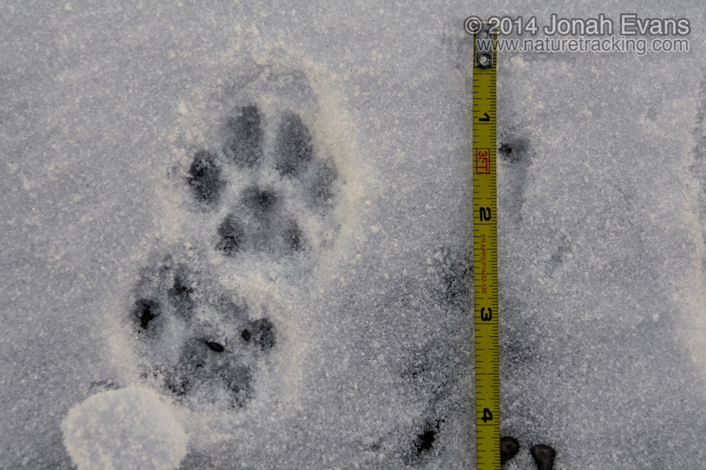 Identifying animal tracks in snow 5 common species in for House of tracks