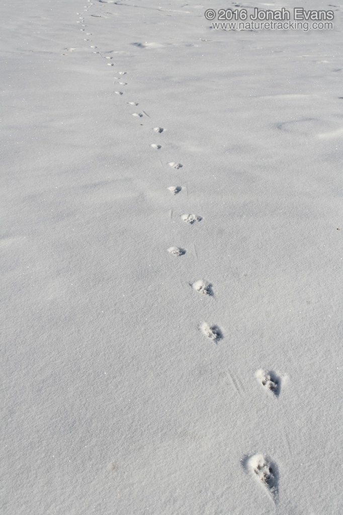 Identifying Animal Tracks in Snow – 5 Common Species in Your Backyard – NatureTracking